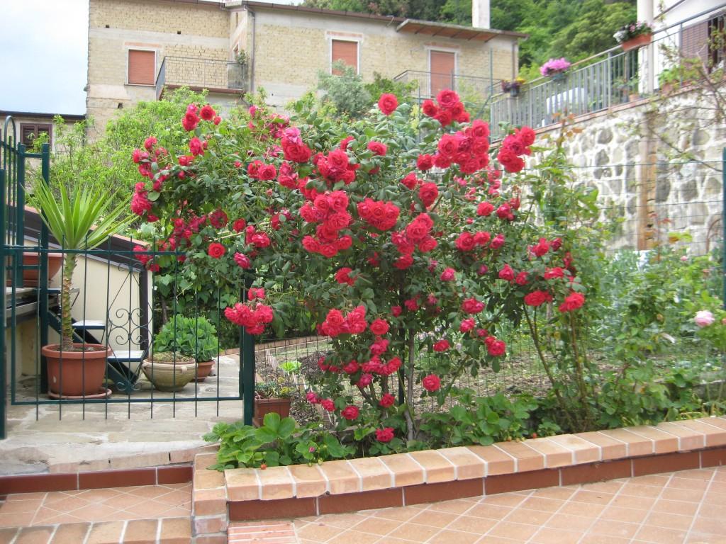 Il rigoglioso roseto rosso davanti casa di Simona D'Aiuto